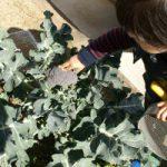 ガーデニング 収穫のとき ブロッコリーの収穫