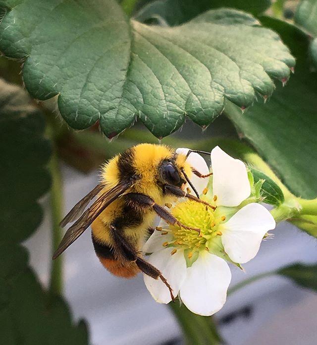 :・・〜・・・・#strawberry #bee #nature #tokyophotographer #tokyophotography #japanphotography #myview #tokyolandmark #tokyo #japan #walking #nice #happy #fun #東京散歩 #カメラ散歩 #