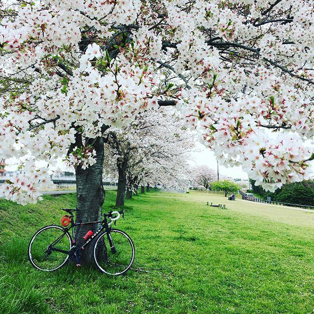:・・1年ぶりの  この桜の木の下。・・・・手賀沼の北の隅っこから、沼カフェまでの往復をゆっくりくるくる回しました。・・復路の頃には晴れ間も出てきて気持ちよしでした・・#手賀沼ライド #spring #ロードバイク #くるくるまわす系 #ポタリング #デローザのある風景 #自転車のある風景 #derosa #derosaavant #derosabikes #tokyophotographer #tokyophotography #japanphotography #myview #japan #nice #happy #fun #手賀沼 #手賀沼サイクリングロード #ぼっちライド