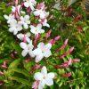 :・・flowering.近所のジャスミン開花︎・・・もうね、ご近所散歩ですわ🏻♂️まだつぼみばかりでもいい香り、全部咲いたらすごいんだぞ、ね#spring #plans #緑のある暮らし #ずっと緑の中にいたい #自然好き #草花好き #季節を感じる #color #green #nature #tokyophotographer #tokyophotography #japanphotography #myview #japan #walking #nice #happy #fun #カメラ散歩 #ご近所散歩