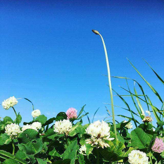 のっぽ。・・・ということですこしだけ散歩しました🏻♂️#シロツメクサ #クローバー #アカツメクサ #青空 #緑のある暮らし #ずっと緑の中にいたい #自然好き #草花好き #季節を感じる #spring #plans #color #green #nature #tokyophotographer #tokyophotography #japanphotography #myview #japan #nice #happy #fun #カメラ散歩 #おうち時間