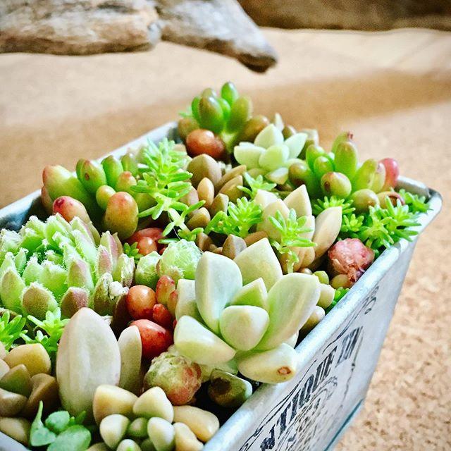小さいの寄せてみました・・・・#succulents #cacto #多肉植物寄せ植え #多肉増殖 #多肉植物のある暮らし #nature #tokyophotographer #tokyophotography #japanphotography #myview #japan #nice #happy #fun #